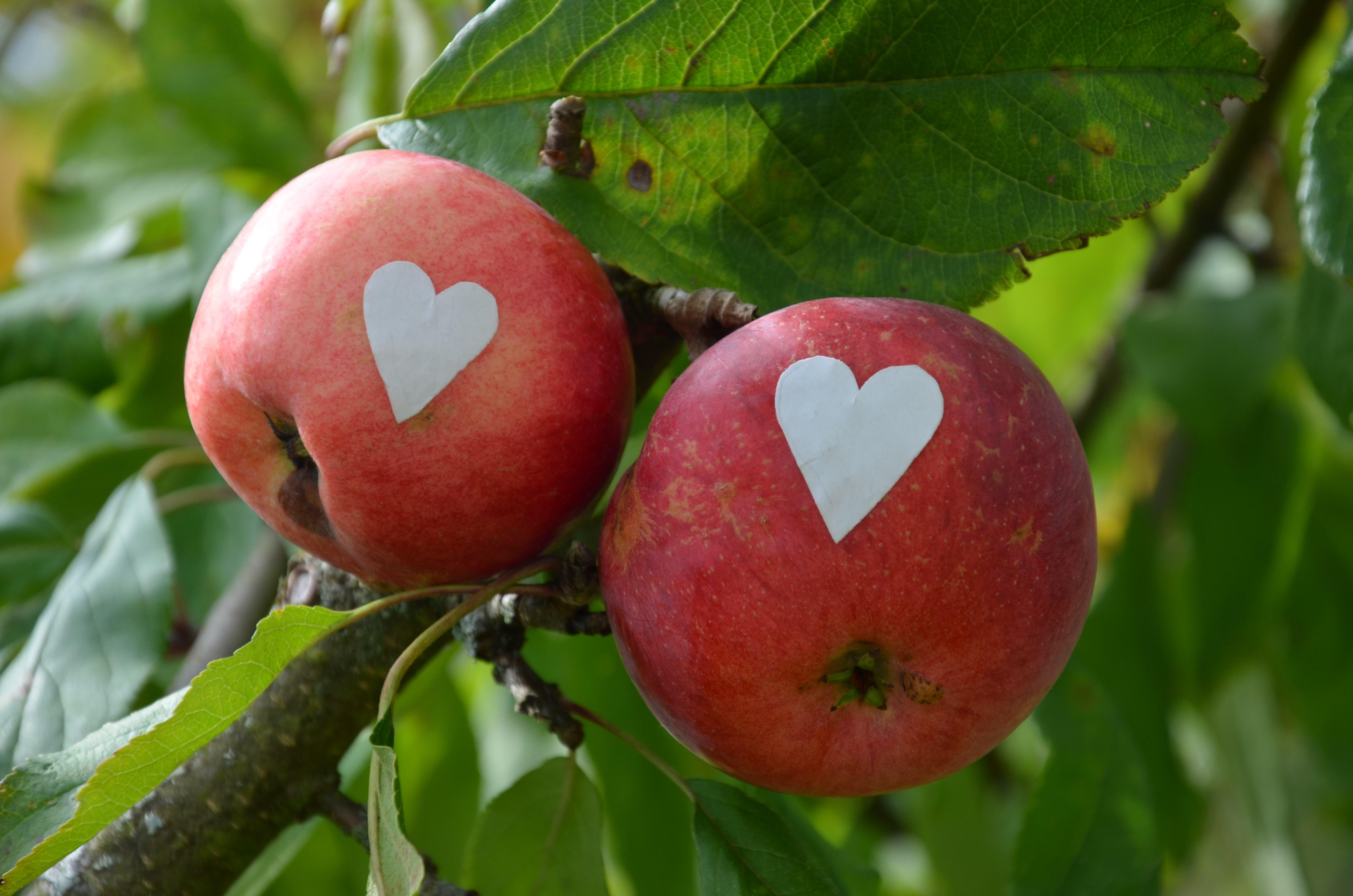 Erntezeit: Apfel für die Liebste