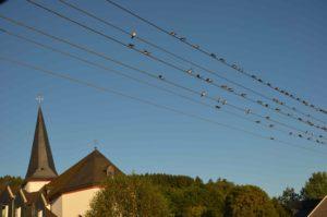 Die Schwalben sammeln sich… – Vögel stehen kurz vor dem Start in den Süden
