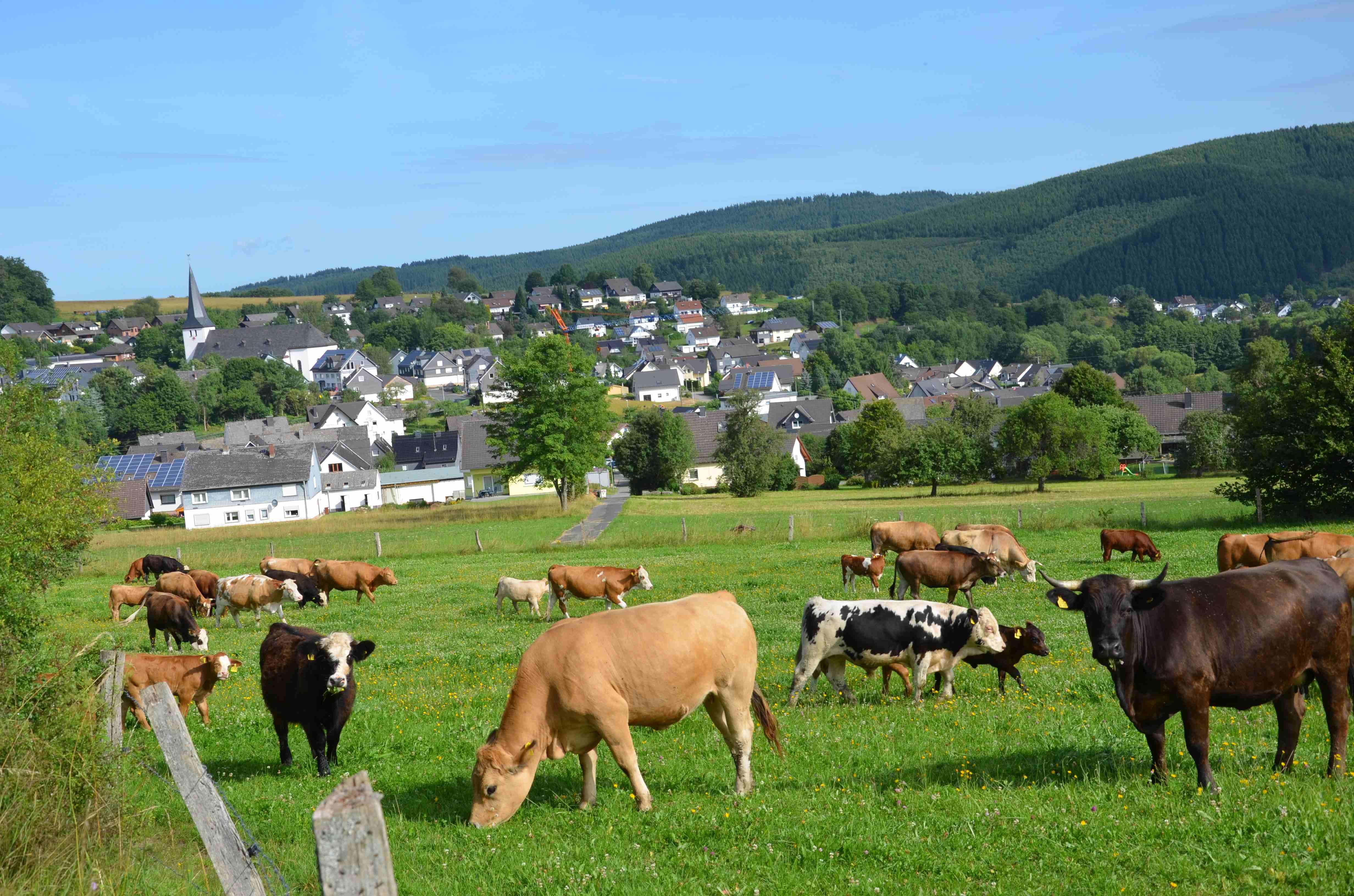 Über 50 Kühe