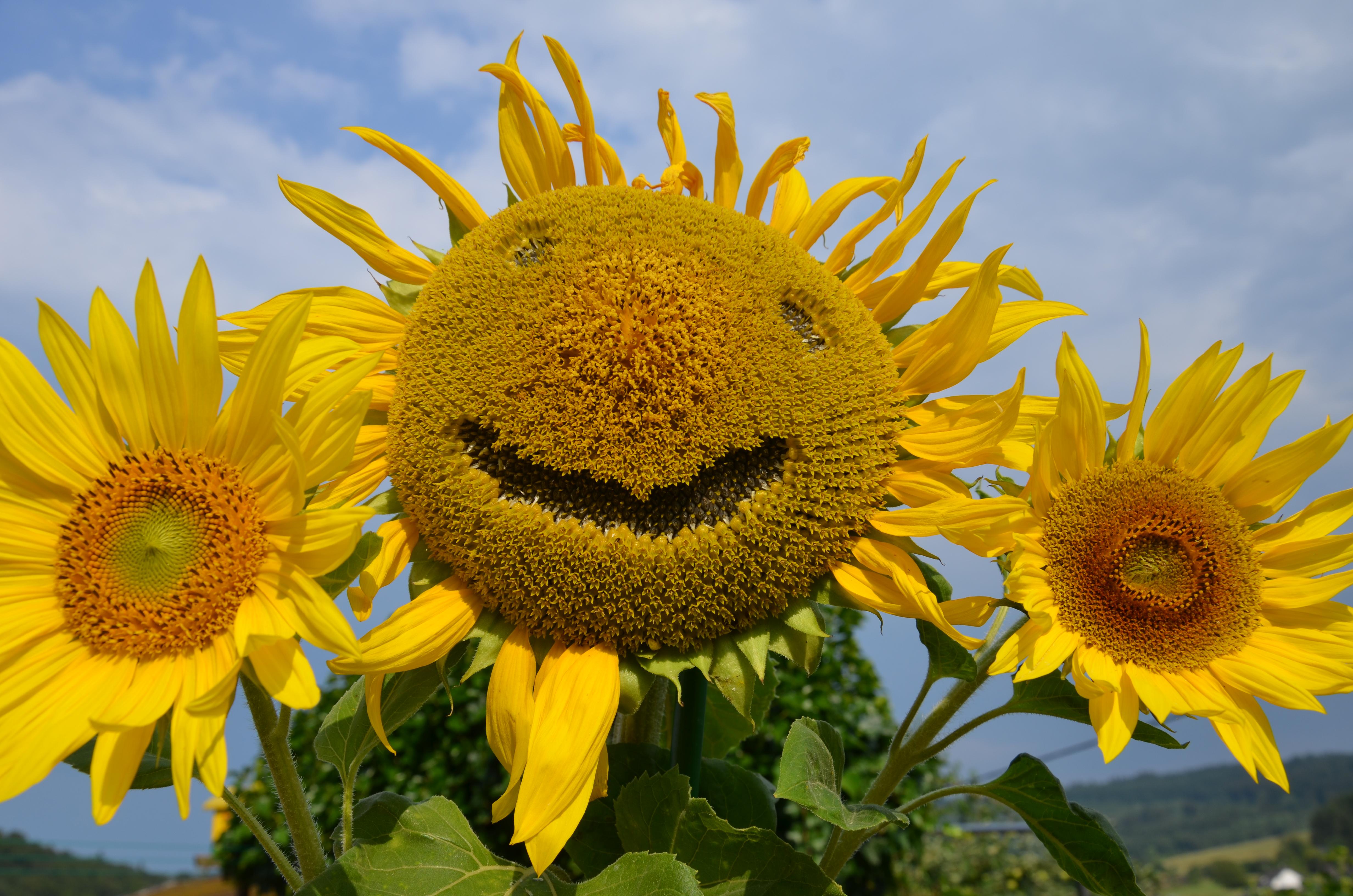 """Eine Sonnenblume """"lacht"""" im Blumengarten von Elke Bruch."""
